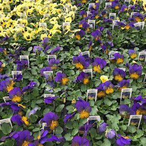 4 pack purple and yellow violas