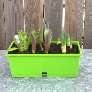spring blooming bulb window box