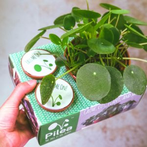 pilea freindship plant share box 4""