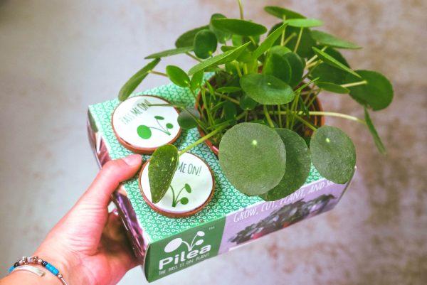 "pilea freindship plant share box 4"""