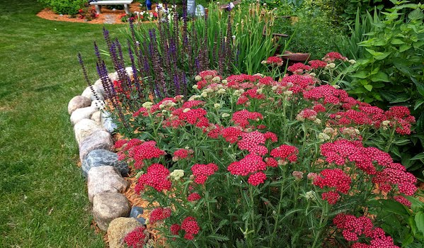 achillea-yarrow-garden