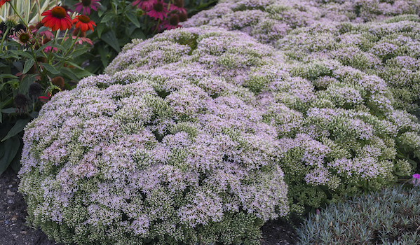 Sedum Pure Joy by Proven Winners paired with coneflower
