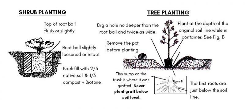 shrub and tree planting-guide