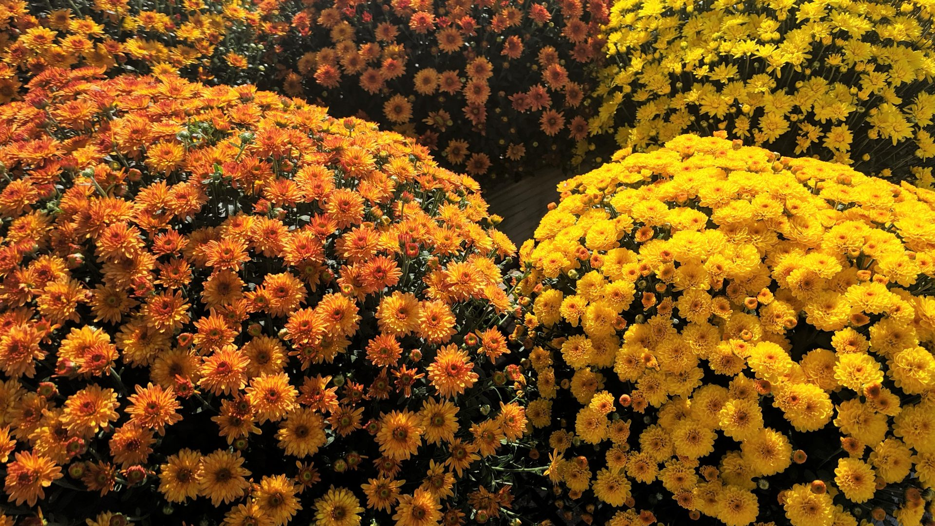 large annual mums