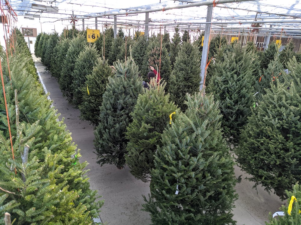 christmas trees hanging in greenhouse