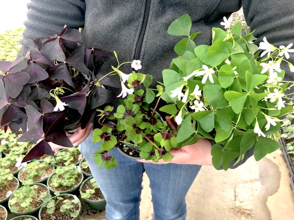 shamrock plants and iron cross