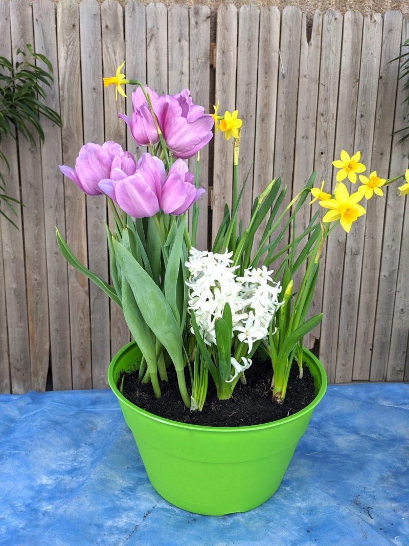 blooming bulb garden