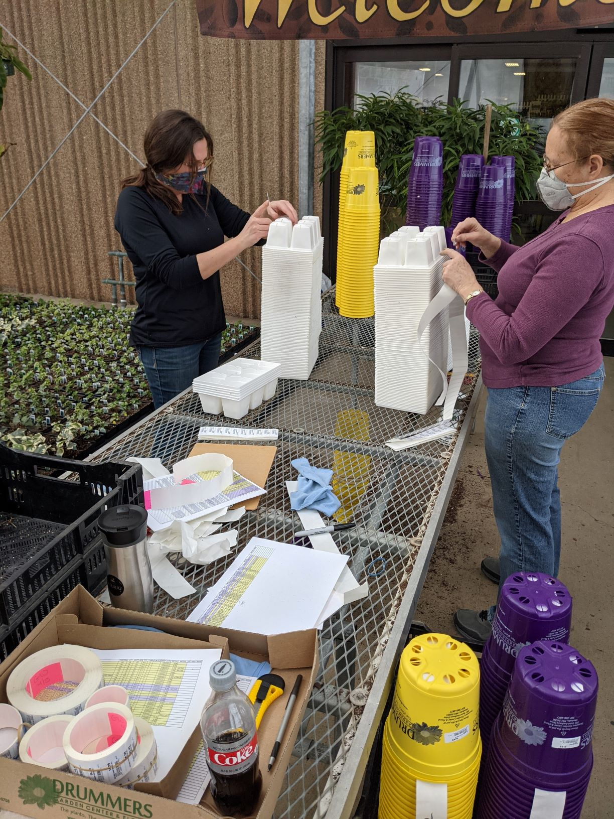 staff stickering perennial pots getting ready for plant shipment