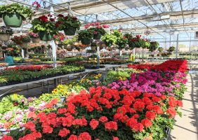 greenhouse geraniums