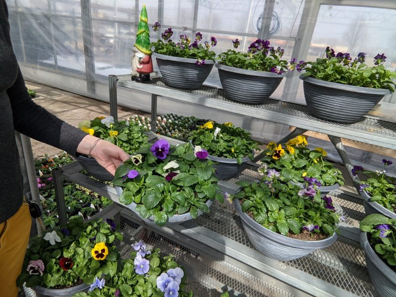 pansies in the greenhouse for sale