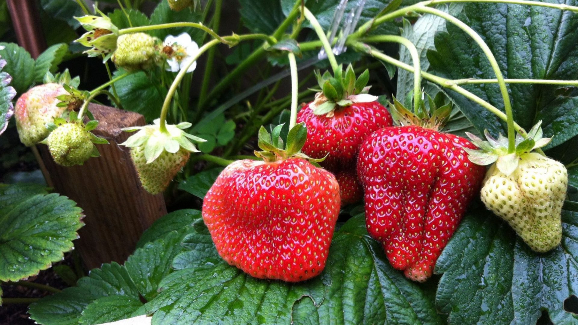 quinault strawberry on vines