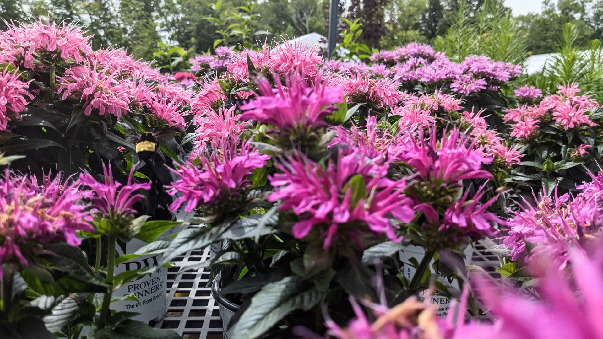 bee balm in bloom