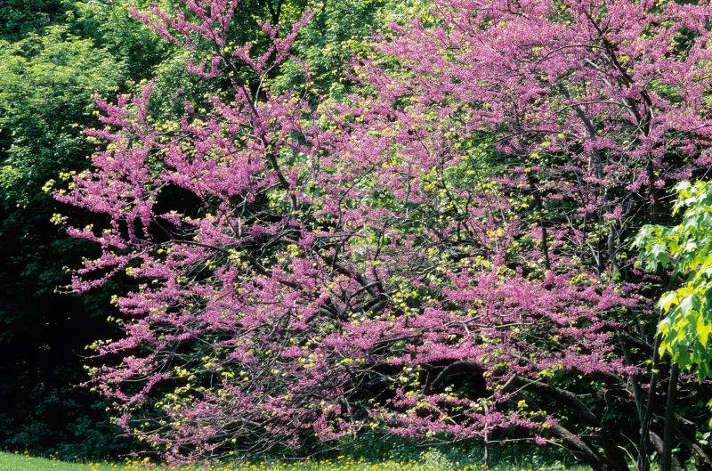 blooming mn strain redbud