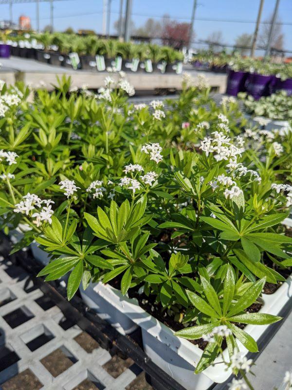 Tiny white flowers of woodruff plant