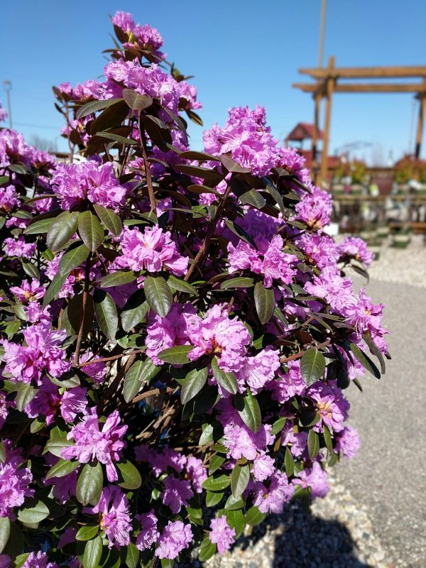 pjm spring blooming purple rhododendron
