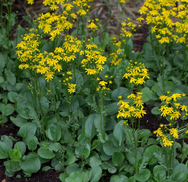 golden grounsel or squaw weed yellow blooms in the spring