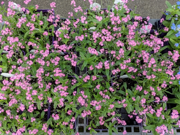 lots of pink flowers on a forget me not
