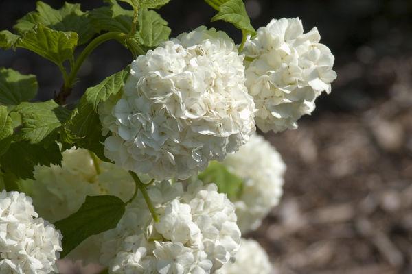 Bulbous white blooms on a snowball viburnum