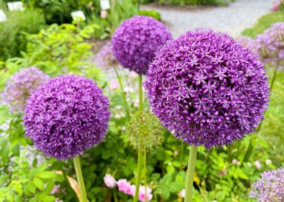 purple large allium blooms
