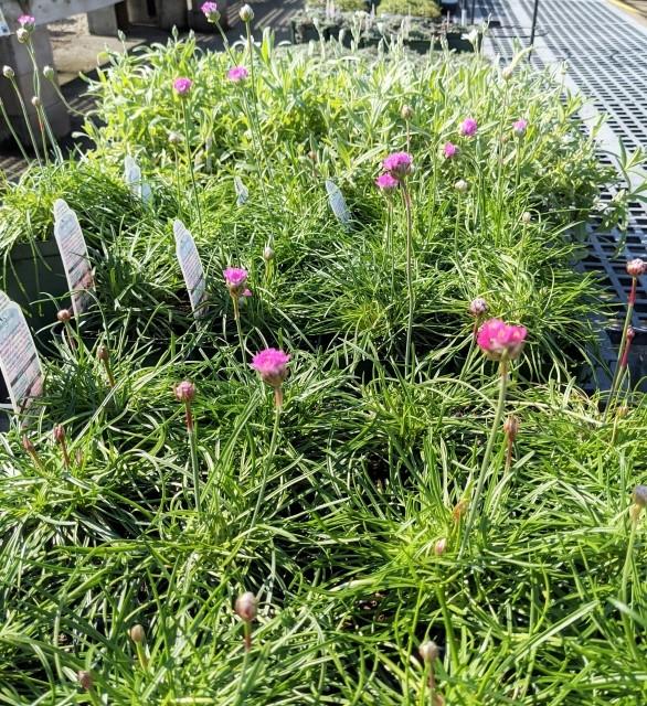 little pink flowers osn armeria