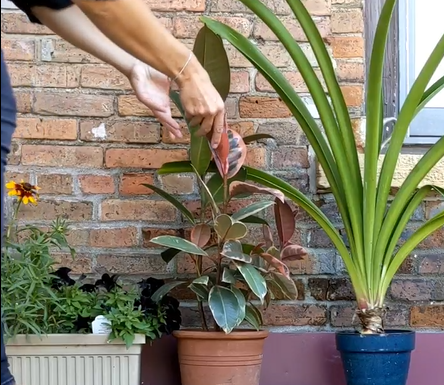 checking on leaves of a variegated rubber plant before bringing inside