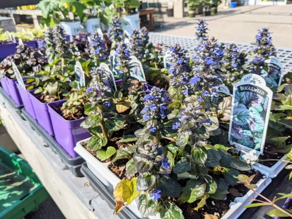 little purple blue flowers of bugleweed ground cover