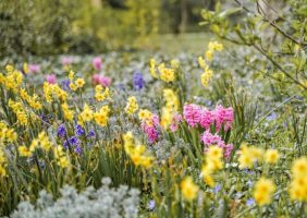 daffodils and hyacinth field of flowers