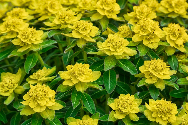 euphorbia cushion spurge yellow growth and blooms