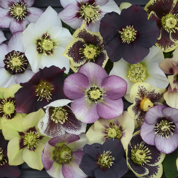 white, yellow, and purple hellebores flowers
