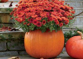 orange mum in a pumpkin