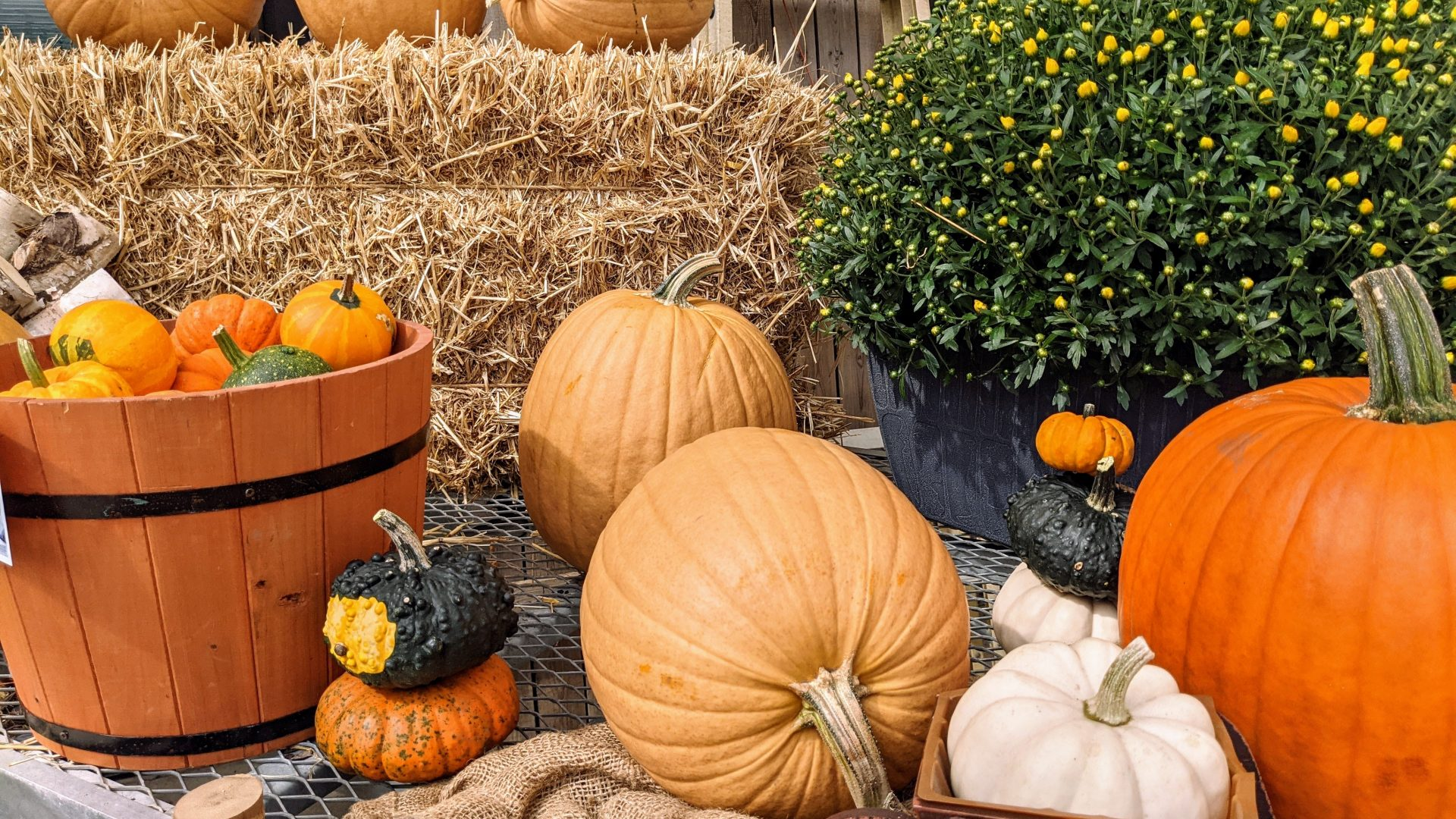 pumpkins,gourds, a mum and straw in the background