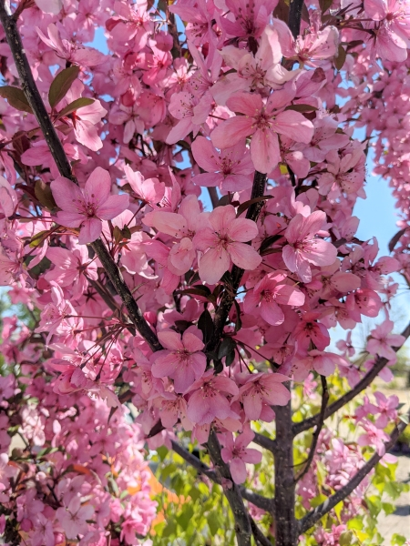 bubble gum pink blooms on show time crabapple