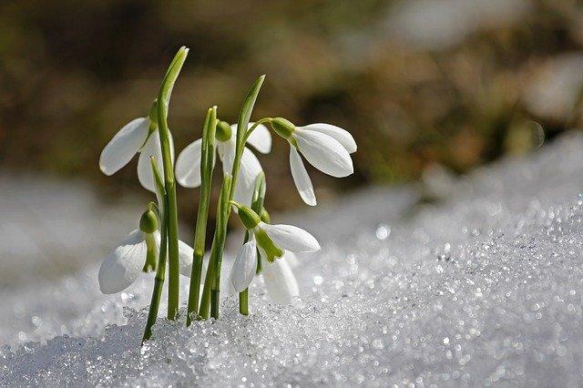 Snowdrop flower in the snow