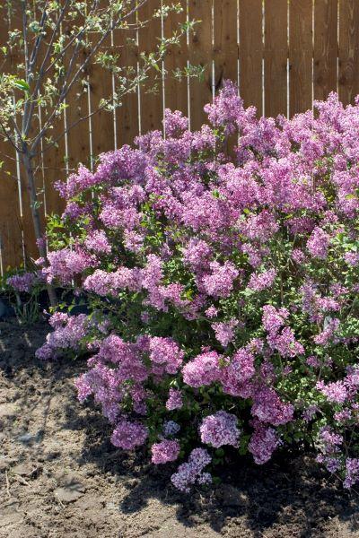 Purple flowers on a bloomerang lilac shrub