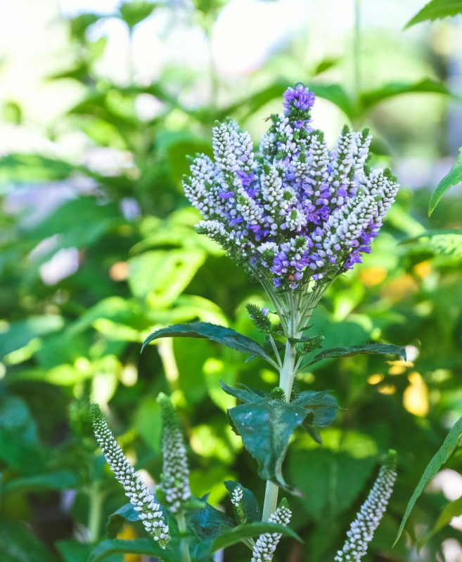 blue flower looks like explosion of a veronica blue bomb plant